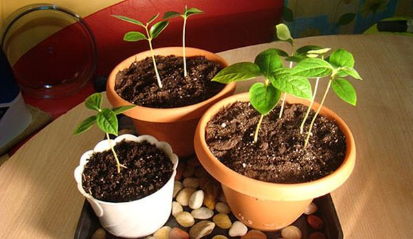 Для посадки абрикосовых косточек используется готовая почвосмесь