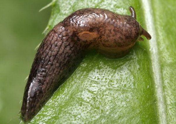 В домашних условиях вредители редко появляются на рассаде