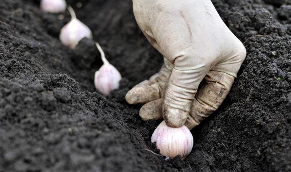Правильно сажать чеснок в предварительно увлажненную почву