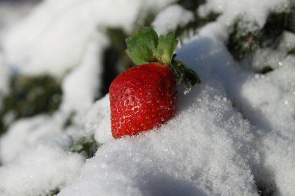 Клубнику нужно подготовить к зиме