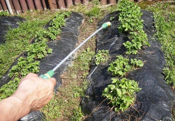 Защита от болезней и вредителей клубники
