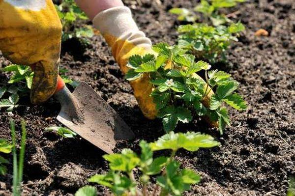Посадку проводят в удобренную почву