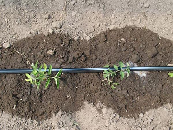 Посадка рассады помидоров: правила, советы, рекомендации