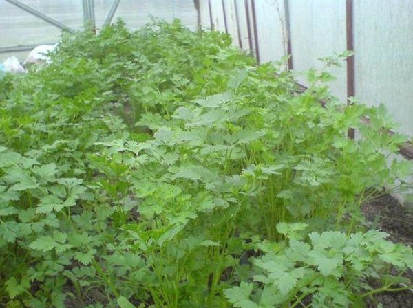 Зелень можно выращивать в теплице
