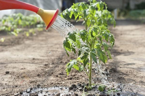 После посадки томаты нужно полить