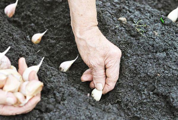 Оптимальной почвой для чеснока является чернозем