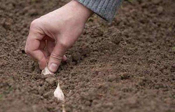 Многие огородники привыкли сажать чеснок осенью