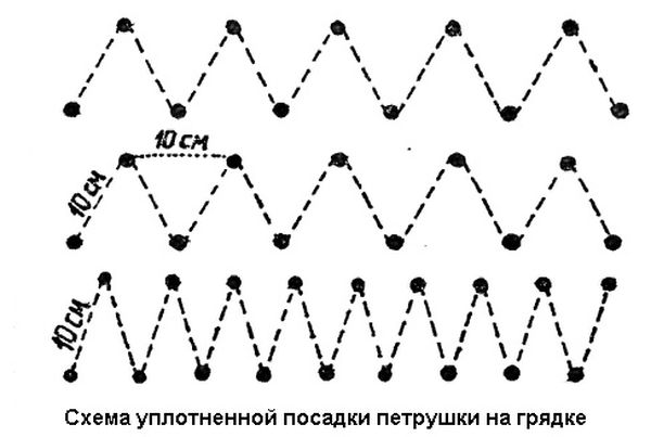 Схема и правила посадки петрушки
