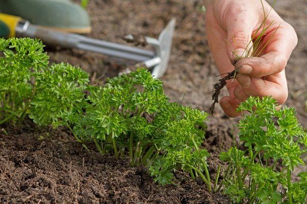 Не забывайте убирать сорняки