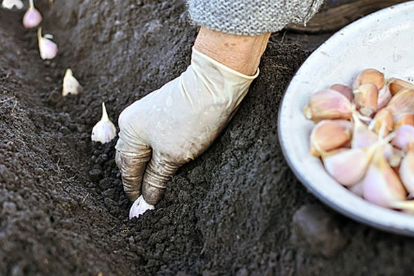 Чеснок сажают в подготовленные на грядке бороздки