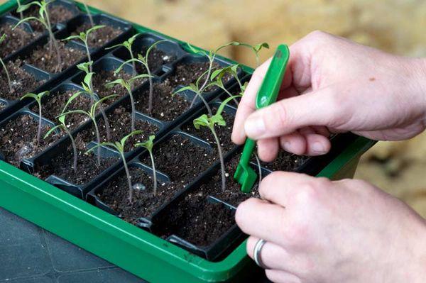 Пикировка томатов - важный процесс