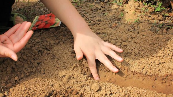 Высаживание редиса в грунт весной
