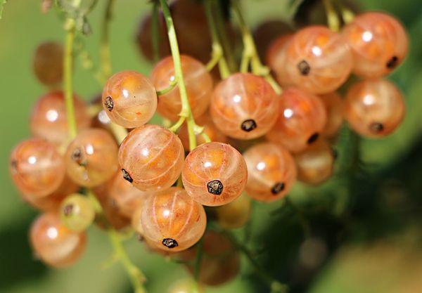 Размножается смородина черенками и семенами