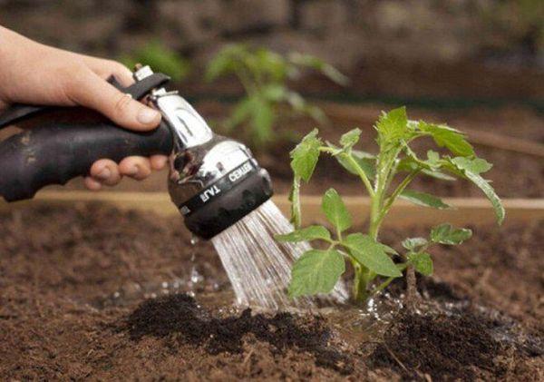 Выращивание помидоров требует особого режима полива