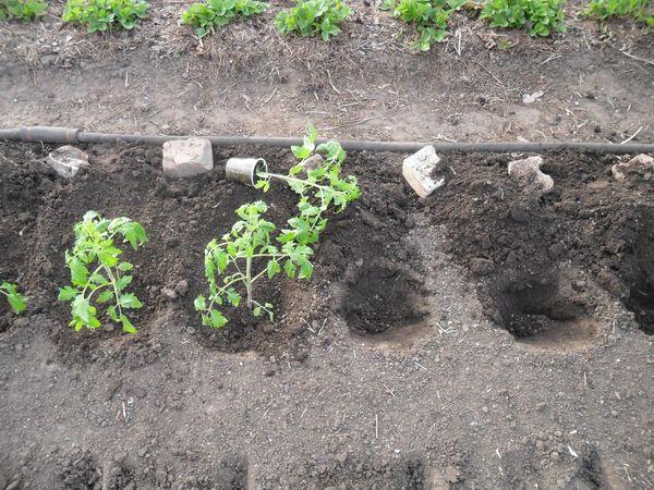 Посадка томатов в открытый грунт