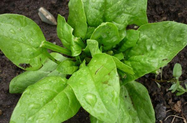 Шпинат Матадор - это высокоурожайный поздний сорт