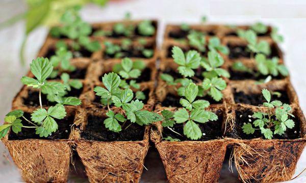 Посадка клубники и земляники семенами на рассаду