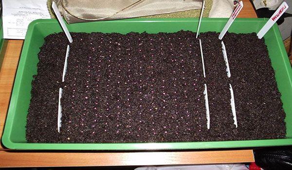 Высеивать семена нужно на расстоянии 2–5 см