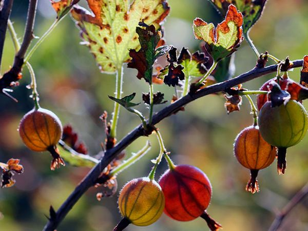 Осенний уход за крыжовником