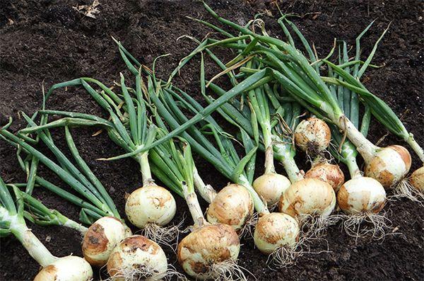 Срок хранения не вовремя убранного урожая ниже