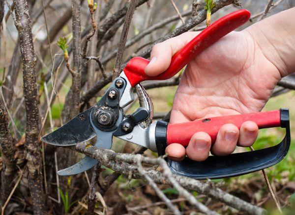 Ягодные кусты необходимо регулярно обрезать