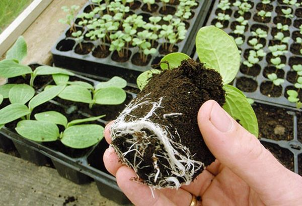 Высаживать рассаду нужно в период с температурой не ниже 15 °C