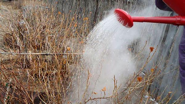 Весенняя обработка смородины и крыжовника от вредителей: сроки