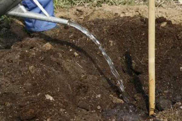 Посадочную яму для сливы готовят заранее