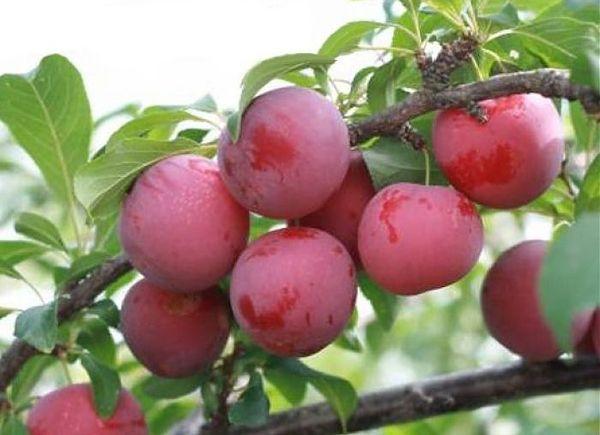 Алыча Несмеяна – высокое растение с широкой кроной