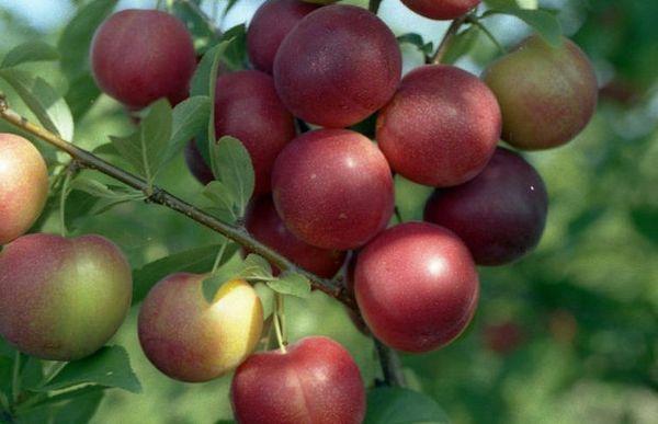 Алыча Рубиновая отличается окраской плодов