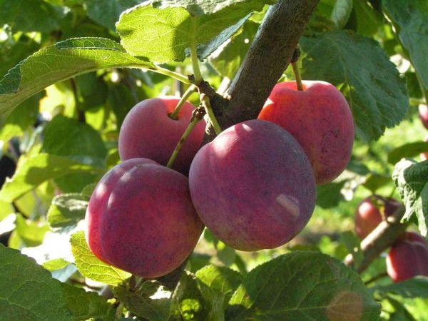 Тимирязевская алыча дает хороший урожай