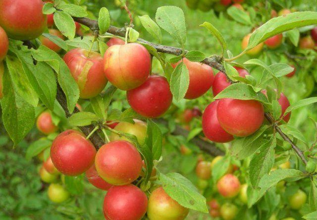 Слива относится к фруктовым деревьям