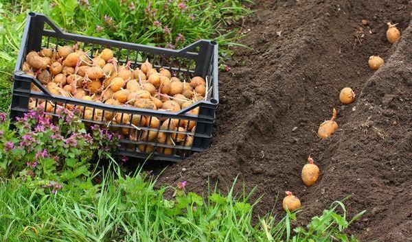 Лунный календарь позволяет повысить урожай картофеля