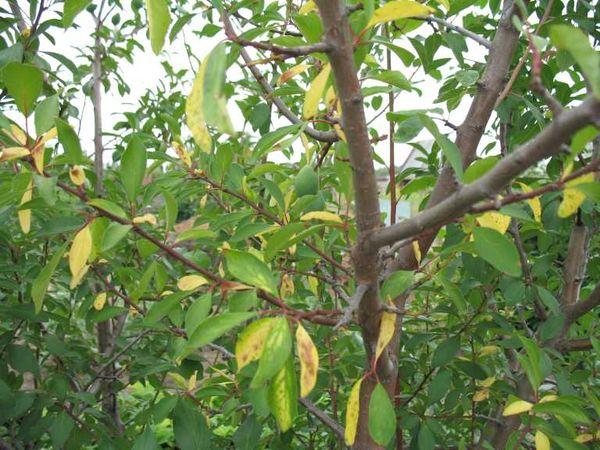 Сохнут листья сливы
