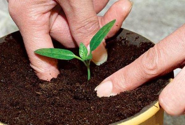 Слива – очень популярное косточковое дерево