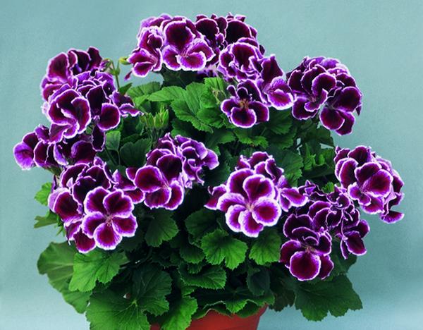 Пеларгония цветет практически непрерывно