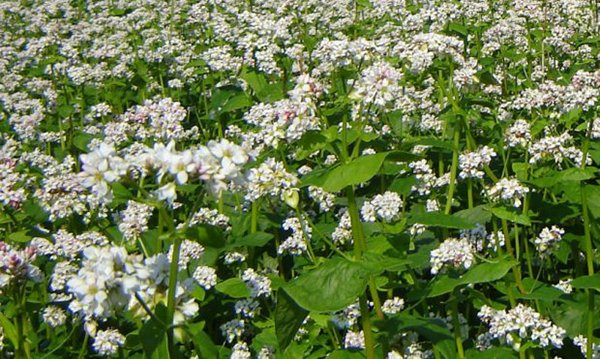 Гречиха раскисляет почву и питает ее витаминами