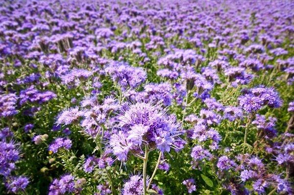 Фацелия - хорошее решение для отечественного садовода