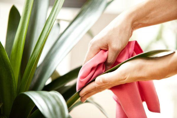 Гигиена комнатных растений: как очистить цветы