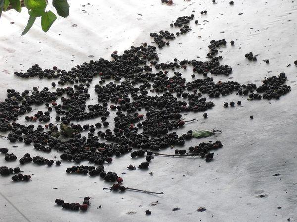 Семена шелковицы для посадки