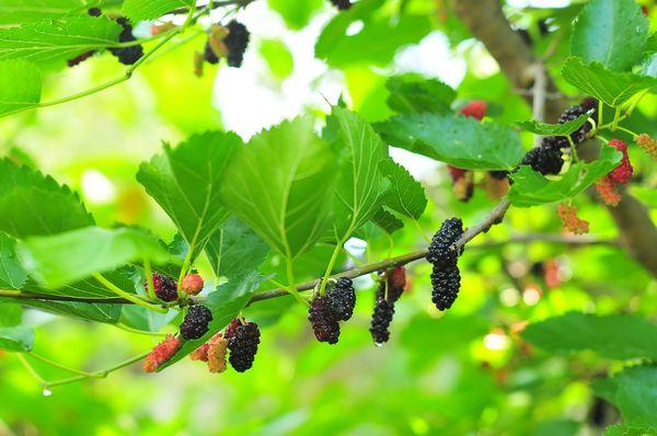 Тутовое дерево, или шелковица
