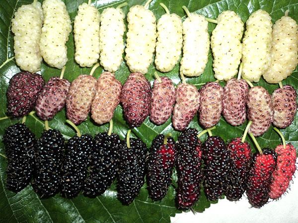 Период созревания шелковицы зависит от сорта и климатических условий