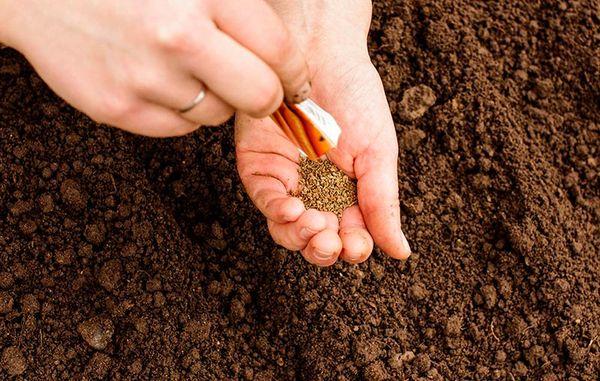 Под зиму корнеплоды сажают, чтобы собрать ранний урожай