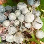 Сорт винограда велес: описание и особенности посадки