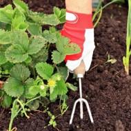 Сортовые характеристики и особенности выращивания земклуники Купчиха