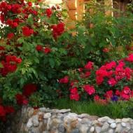 Плетистая роза Сантана посадка и уход