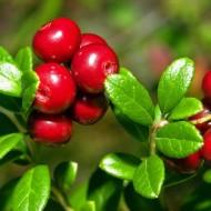 Какие ягоды собирают осенью? ТОП-10 самых полезных