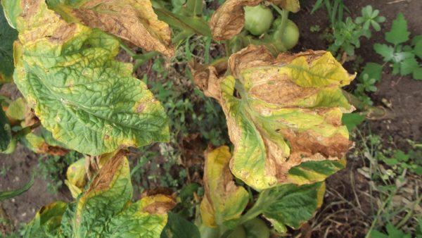 Пораженные заболеванием растения необходимо утилизировать или сжечь