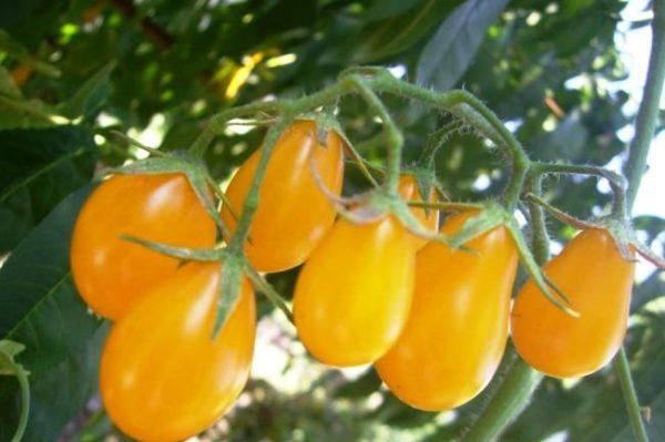 Сорт томата Медовая капля