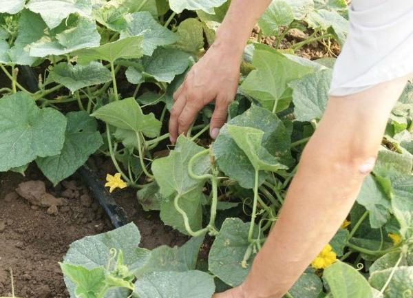 Лечение растений, пораженных мучнистой росой